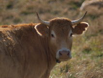 COW ON FIELD CLOSE UP Royalty Free Stock Images