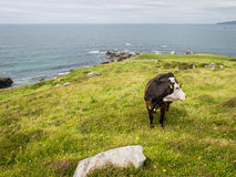 Cow in a field on the coast of Maghery, Donegal Royalty Free Stock Image