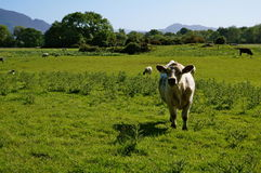 Cow in field. Cows in field in ireland Stock Photography