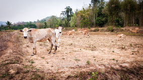 Cow in field dry season in thailand Royalty Free Stock Photo