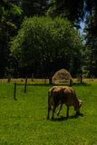 Cow on field. Cow eating grass in a field in a mountainous area stock photography