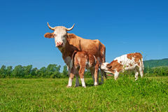 Cow in a field, feeding two calves Royalty Free Stock Photos