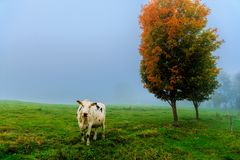 Cow in a field on a foggy morning. Royalty Free Stock Photo