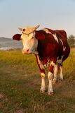 Cow and field of fresh grass Royalty Free Stock Photos