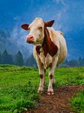 Cow field front view. Cow in a field front view stock photo