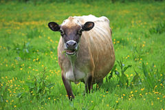 Cow in a field Royalty Free Stock Photography