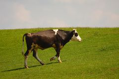 Cow on a field Royalty Free Stock Image