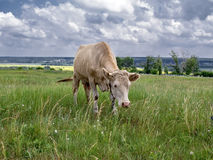 Cow on the field Stock Photography
