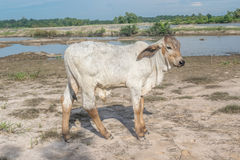 The cow in the field After harvest In Southeast Asia, thailand royalty free stock photos