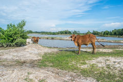 The cow in the field After harvest In Southeast Asia, thailand Royalty Free Stock Photography