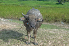 The cow in the field After harvest In Southeast Asia, thailand Stock Photo