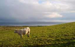 Cow on a field. Ireland. Stock Photos