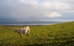 Cow on a field. Ireland. Stock Photos