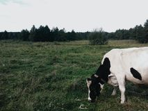 Cow in field. Morning encounter with her new friend Royalty Free Stock Images