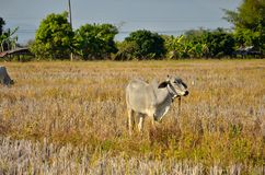 A cow in the field. Royalty Free Stock Image