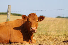 Cow in field A Royalty Free Stock Photos