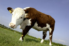 Cow in field Stock Photography