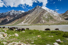 Cow field with snow mountain Himalaya background Stock Image