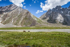 Cow field with snow mountain Himalaya background Stock Photography