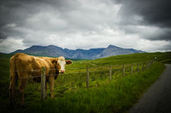 Cow in a field in stormy weather Stock Images
