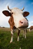 Cow. On the field summer Stock Photography