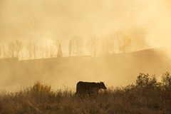 A cow in a field. Sunny misty day in a hills Royalty Free Stock Photo