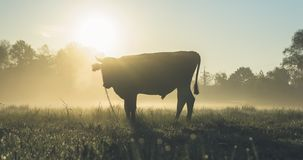 Cow on field at sunrise