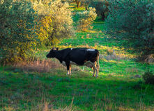 Cow In A Field Royalty Free Stock Image