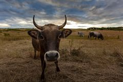 Cow on a field at sunset Royalty Free Stock Images