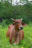 Cow in the field Stock Photography