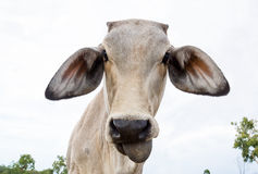Cow in field. Upclose and funny low view point Royalty Free Stock Image