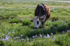 Cow in Field of Wildflowers Royalty Free Stock Photo