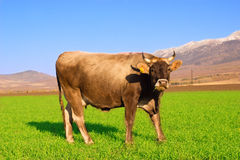 Cow in the field of the winter crops Royalty Free Stock Photography