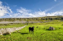 Cow in field, Yorkshire Dales, England Stock Photography