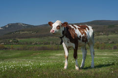 Cow In A Field. Young bull grazing in the meadow, mountains in the background Stock Photos