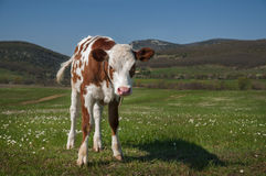 Cow In A Field. Young bull grazing in the meadow, mountains in the background Stock Image
