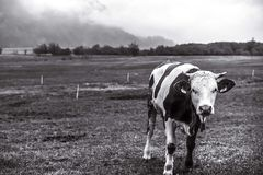 Calf alone in the fields. Black and white photography of little calf in a very cloudy day royalty free stock images