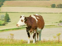 Moo to you too - 2 royalty free stock photos