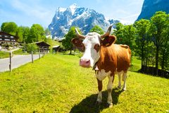 Cow, fields, mountains. Beautiful cow looking in the camera on the green grass lawn Royalty Free Stock Image