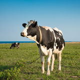 Cow on a fild Royalty Free Stock Image