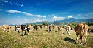 Cow on a fild Stock Photos