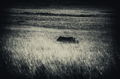 Cow on a Filed. Cow on a Field in high mountain Stock Photo