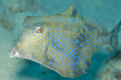 Cow fish. In the ocean Stock Photo