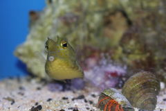 Cow fish. In an aquarium Royalty Free Stock Images