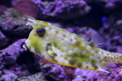 Cow fish in aquarium Royalty Free Stock Images