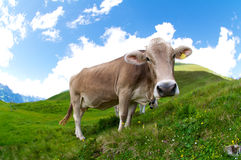 Cow. Fish-eye shot of a cow grazing in the Swiss Alps Stock Image