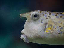 Cow fish Stock Image