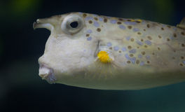 Cow fish Royalty Free Stock Photos