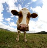COW by fisheye lens and blue sky. Cow photographed with fish eye lens and blue sky with many white clouds Stock Photography