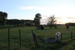 Cow. In Flanders in meadow Stock Image